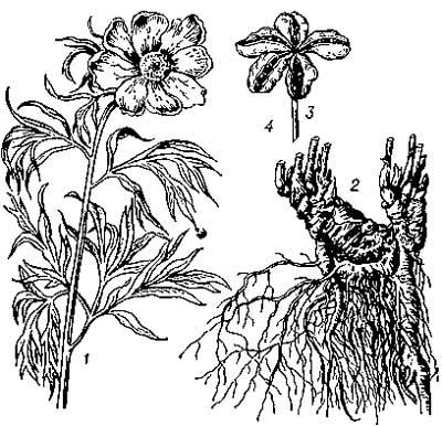 Состав цветка пиона